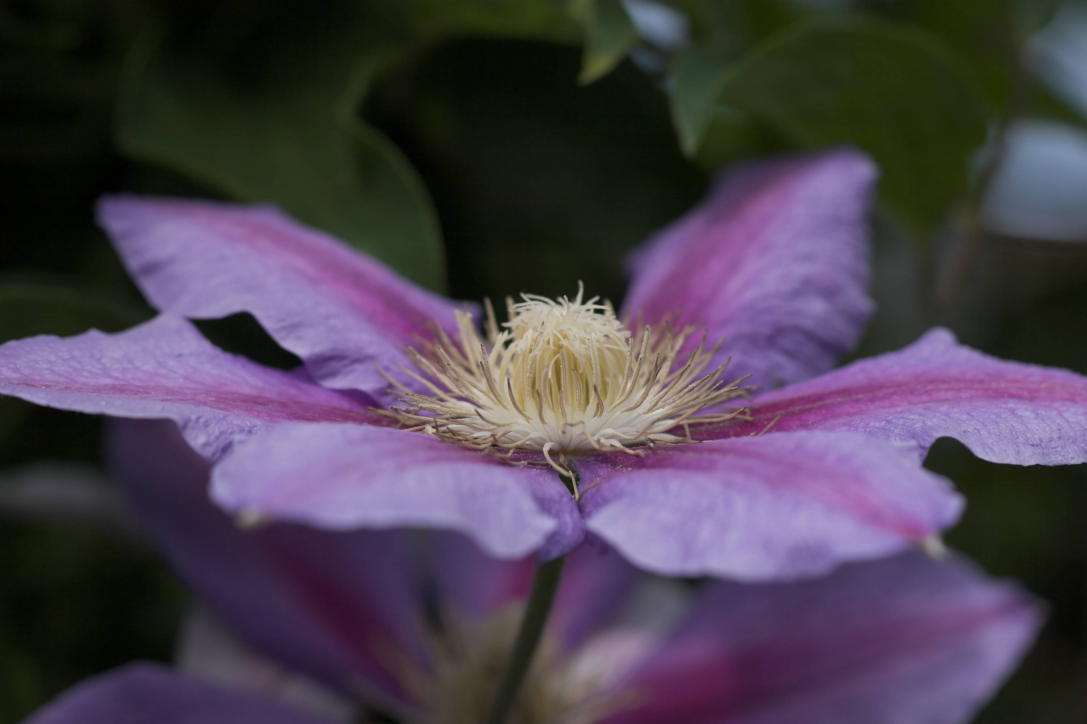 Clematis 'Nelly Moser' 01.jpg