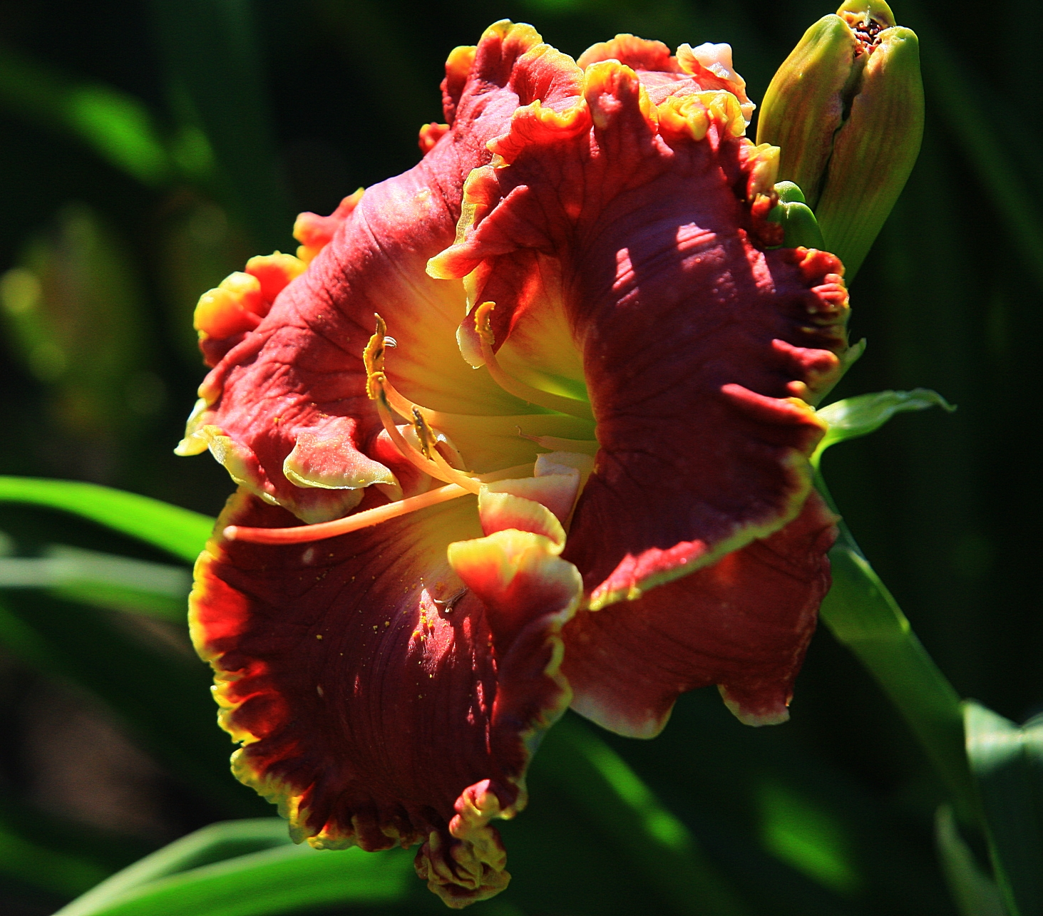 Hemerocallis 'Born to Run' 2019 - 01.jpg