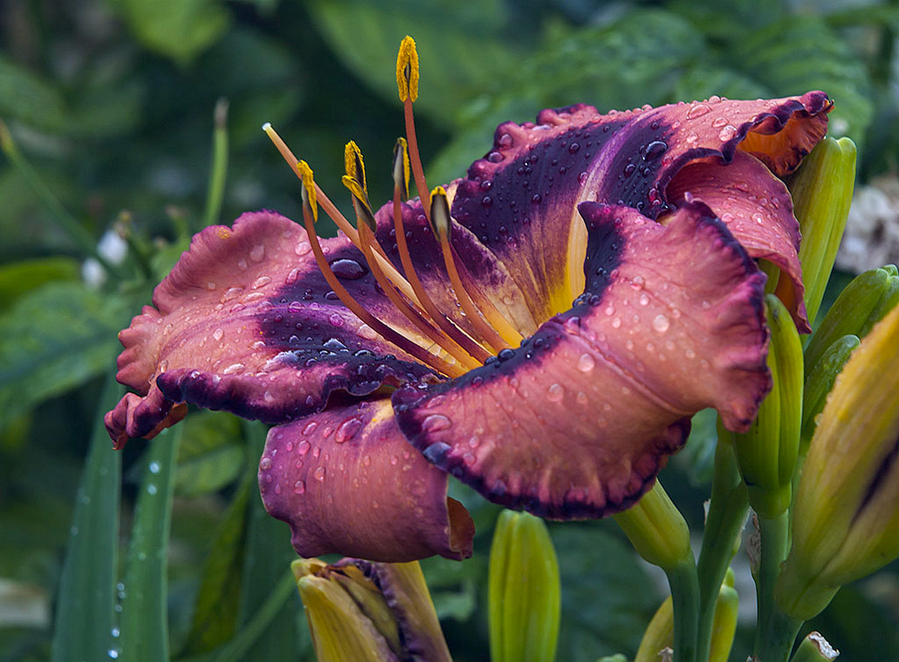 Hemerocallis 'Dark Secret' 2015 - 01.jpg