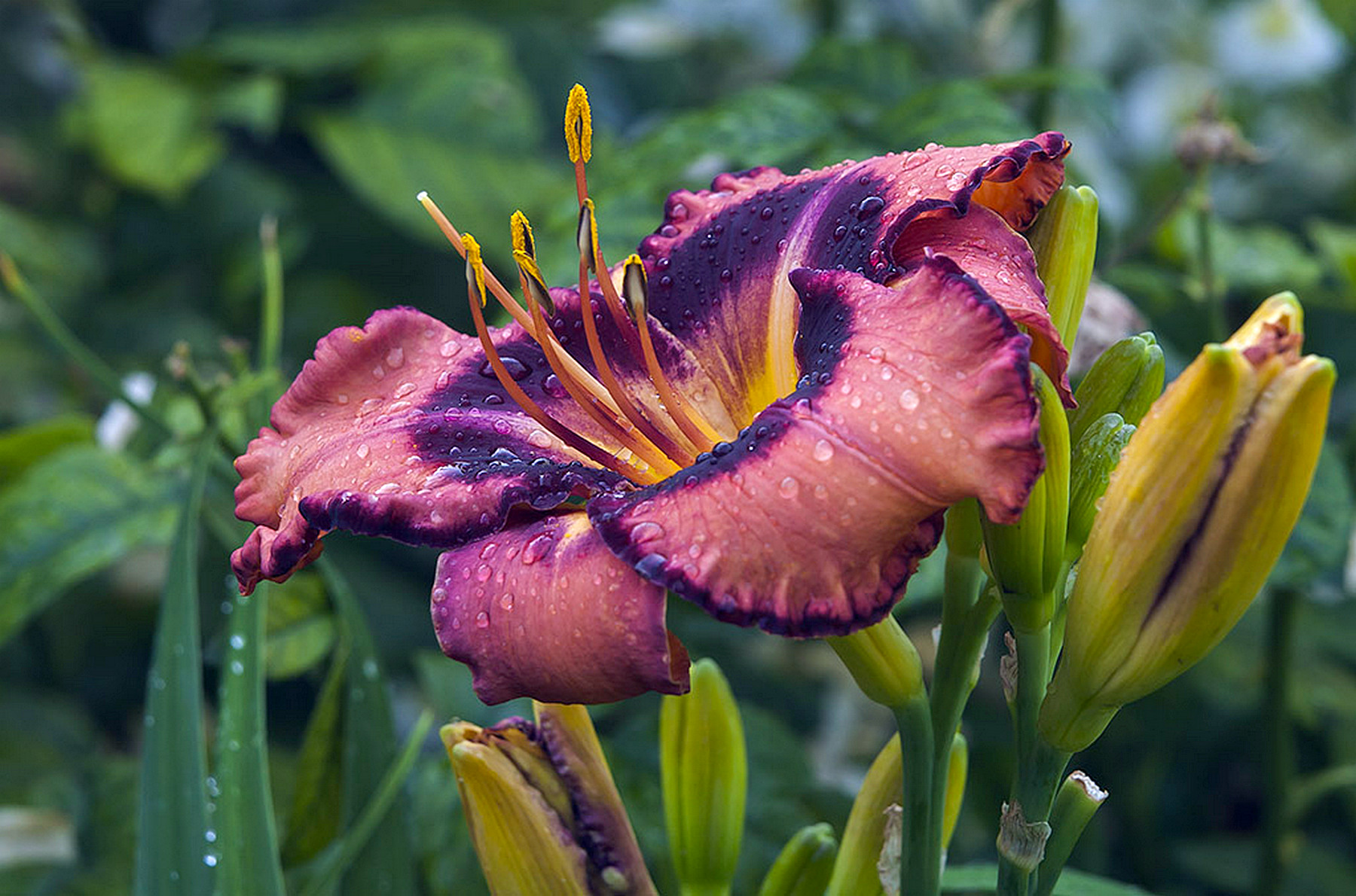 Hemerocallis 'Dark Secret' 2015 - 03.jpg