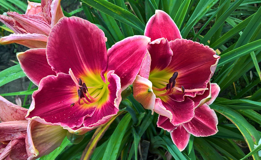 Hemerocallis 'Key to my heart'.jpg