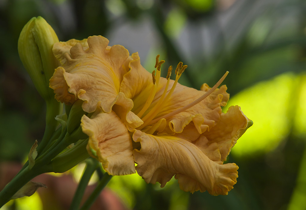 Hemerocallis 'Spacecoast Stardust' 2015 - 01.jpg