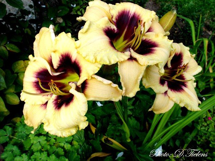 Hemerocallis Piano Man 3.jpg