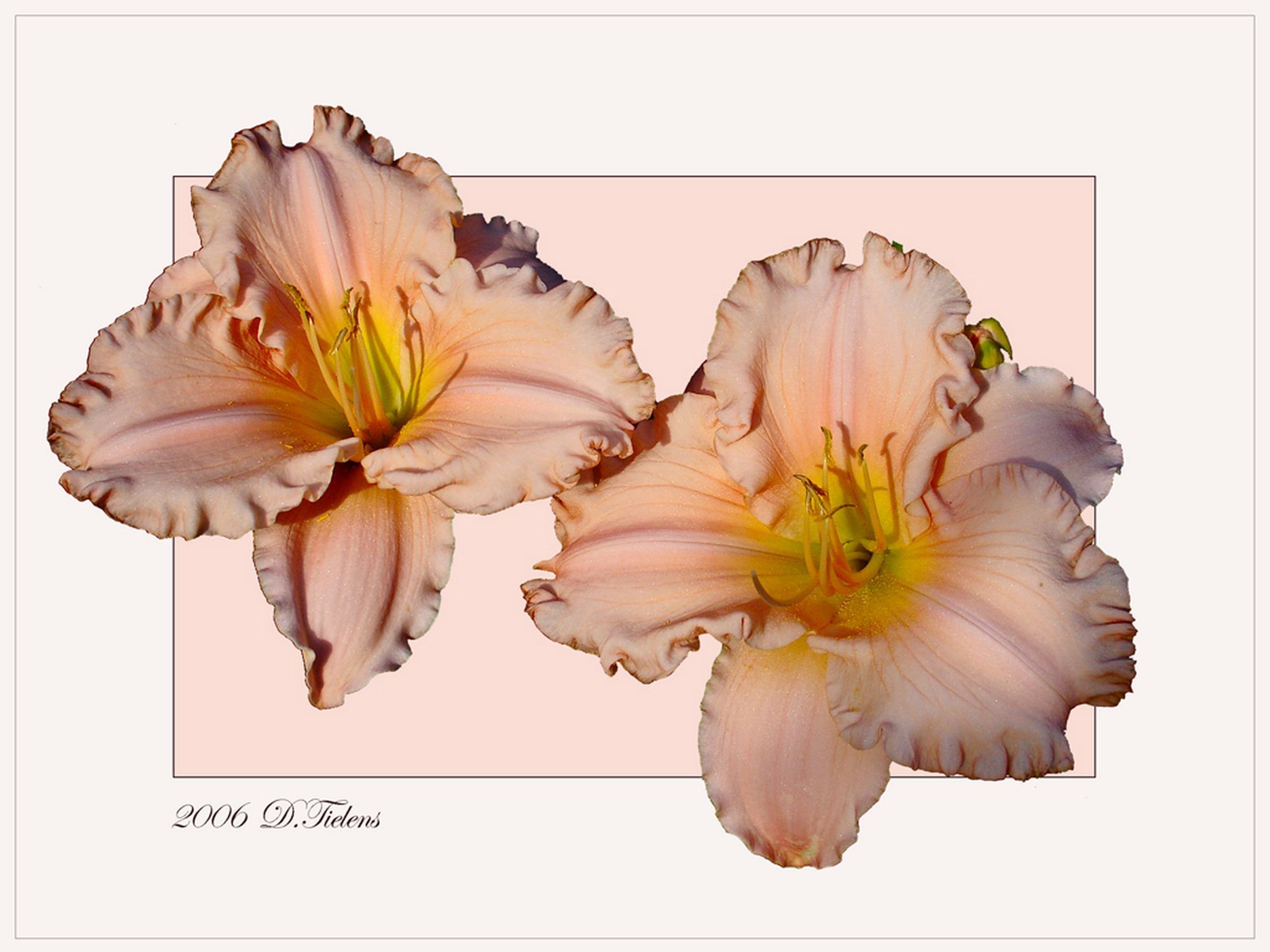 Hemerocallis-Barbara-mitchell 02.jpg