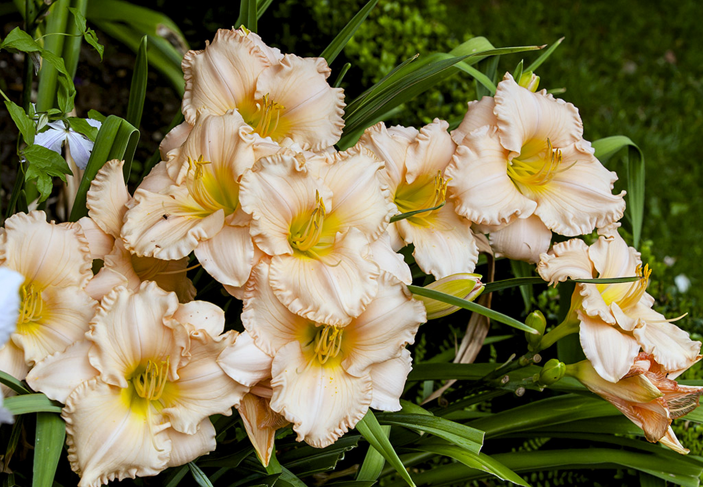 Hemerocallis-Barbara-mitchell 2013_001.jpg