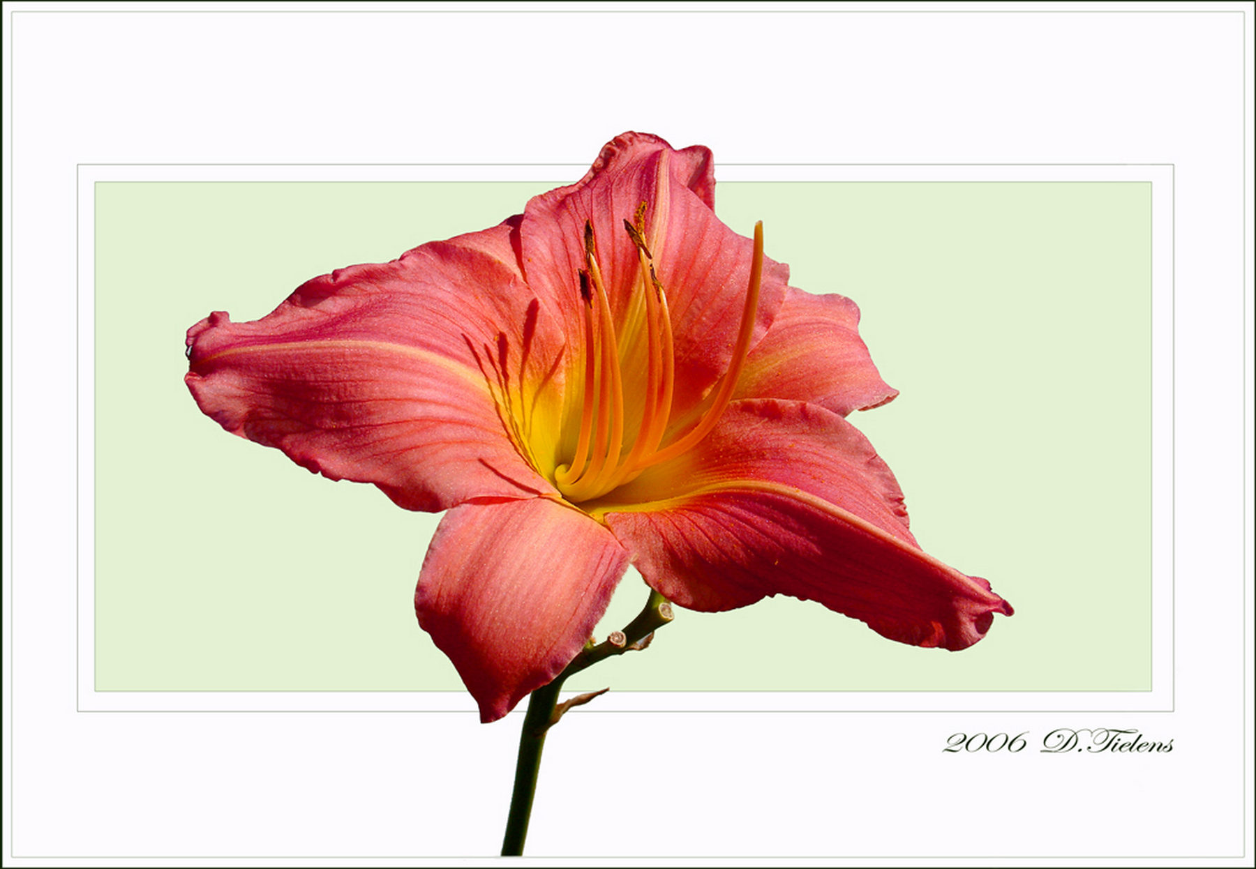 Hemerocallis-Glorie Ritchie 02.jpg -