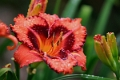 Hemerocallis 'Ruby Starlet' 01