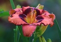 Hemerocallis 'Ruby Starlet' 02