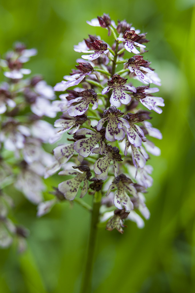 Purperorchis 2013 - 03.jpg