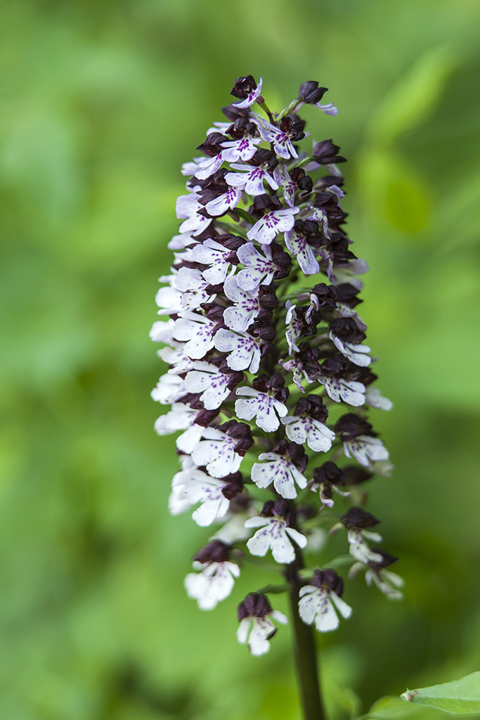 Purperorchis 2013 - 04.jpg