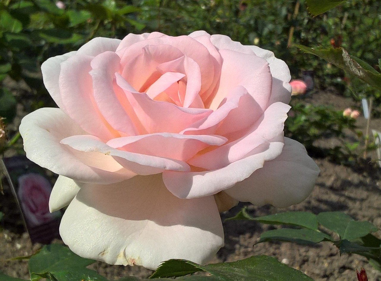 Rosa - A Whiter Shade Of Pale 2017 - 02.jpg