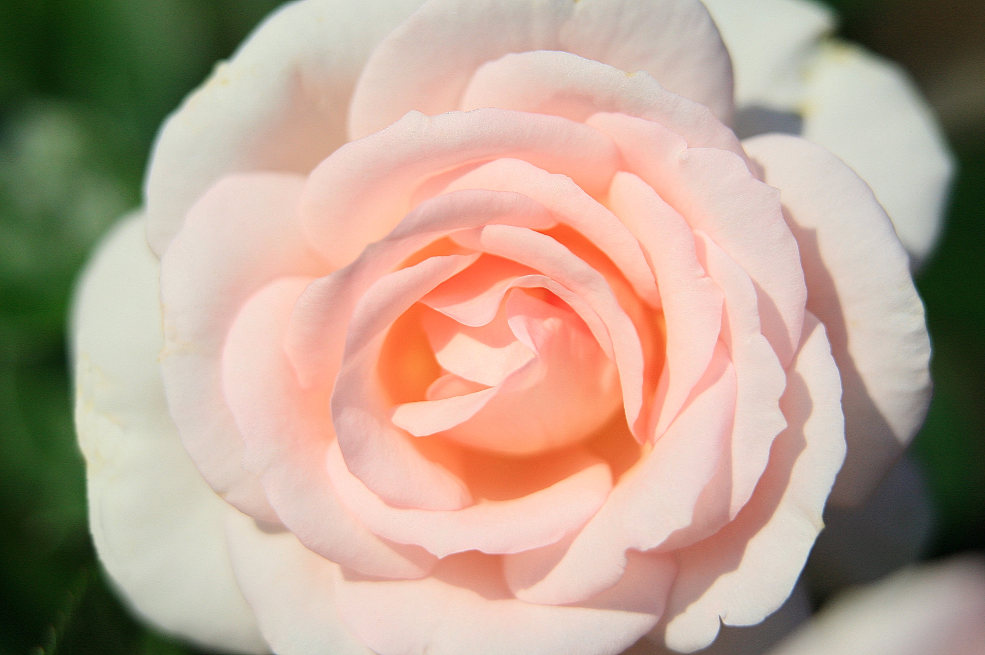 Rosa - A Whiter Shade Of Pale 2017 -005.jpg