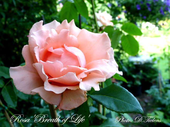 Rosa - Breath of Life 3.jpg