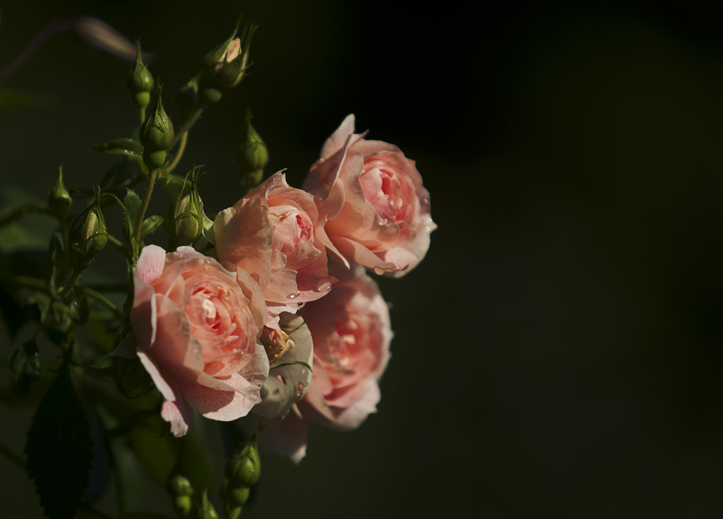 Rosa - Kir Royal - 2012-02.jpg
